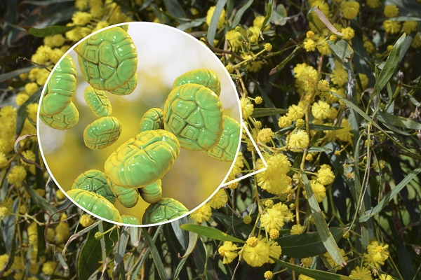 Image of Mimosa pollen, close-up view, 3D illustration, and photo of mimosa flowers.