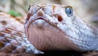 Snake Bites - Rattle Snake