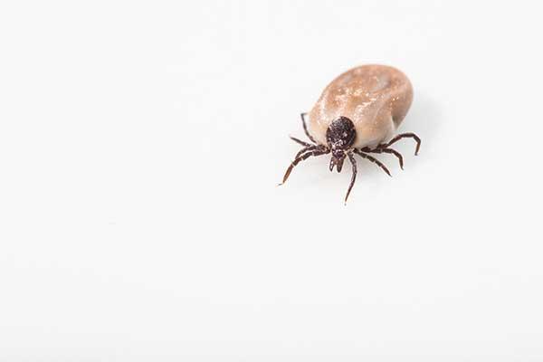 tick borne disease : powassan virus